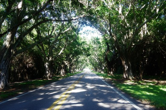 TREES ON BOTH SIDES OF ROAD TO HOBE SOUND