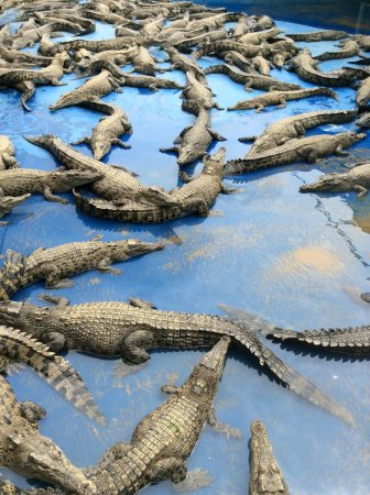 Palm Cove, Australia: Young crocodiles at the farm