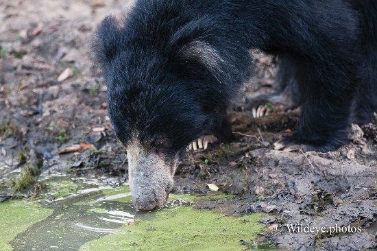 Saliyapura, Sri Lanca: Sloth Bear