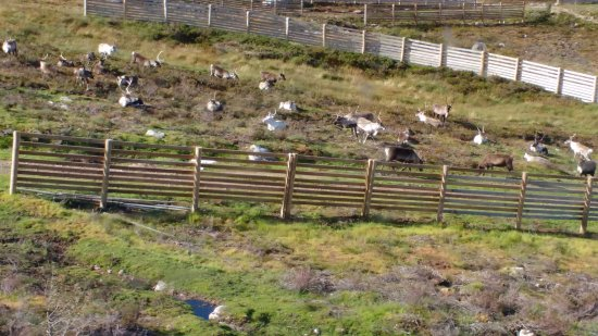 Aviemore, UK: A reindeer herd as seen from the Funicular Railway