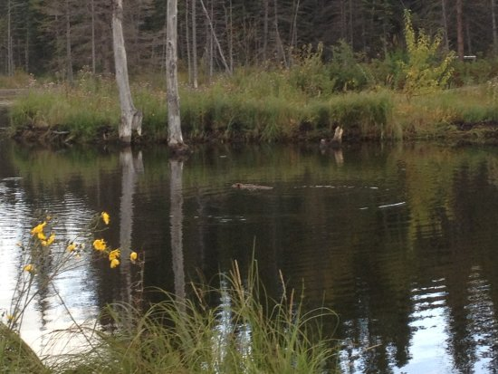 Hinton, Canada: the beaver in the pond