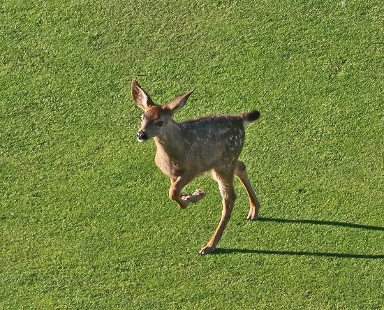 Klamath Falls, OR: Deer on golf course