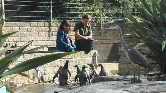 Farnham, UK: feeding the African pengiuns