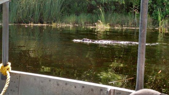 Weston, Floride : Jacarés