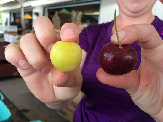 Sicamous, Канада: BC cherries vs BC plums - guess which is which:)