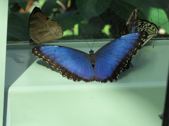 Wings of Mackinac Butterfly Conservatory: The Blue Butterfly