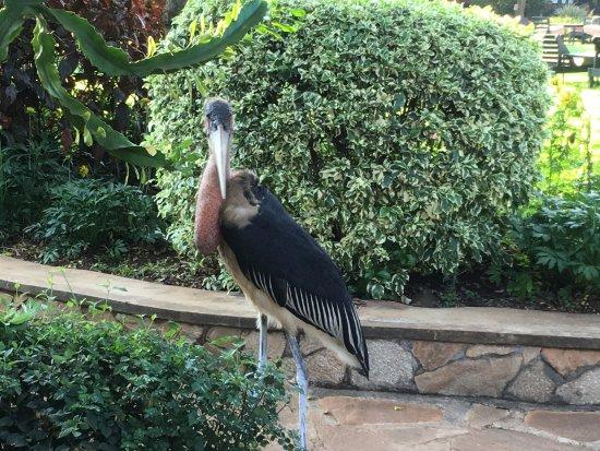 Karatu, Tanzania: resident stork