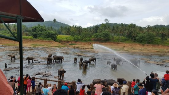 Pinnawala, Sri Lanka: Elephants bathing in river