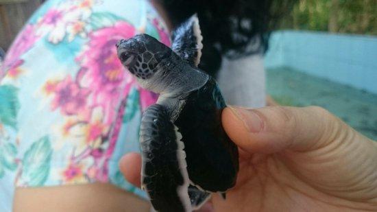 Derawan Islands, إندونيسيا: Turtle