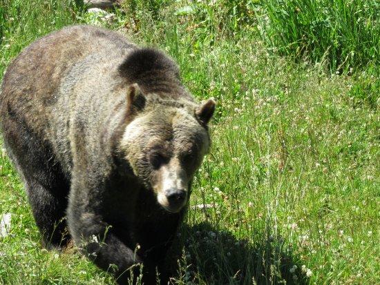 Норт-Ванкувер, Канада: Big Bear