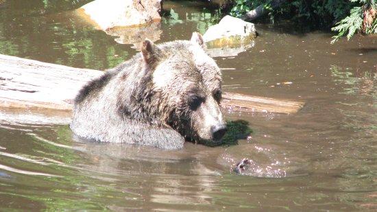 North Vancouver, Canadá: Bear Photo