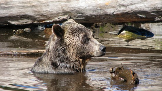 North Vancouver, Canada: More Bear