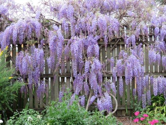 Toowoomba, Australia: Our beautiful wisteria