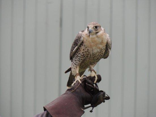 Ballyvaughan, Irlanda: falcon