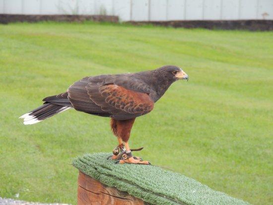 Ballyvaughan, Ιρλανδία: hawk