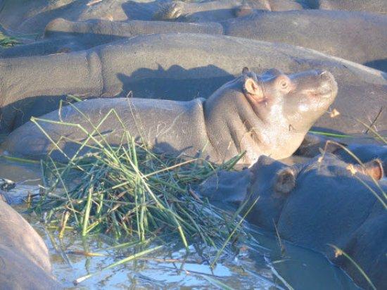 St Lucia, Sudáfrica: Bebé hipopotamo