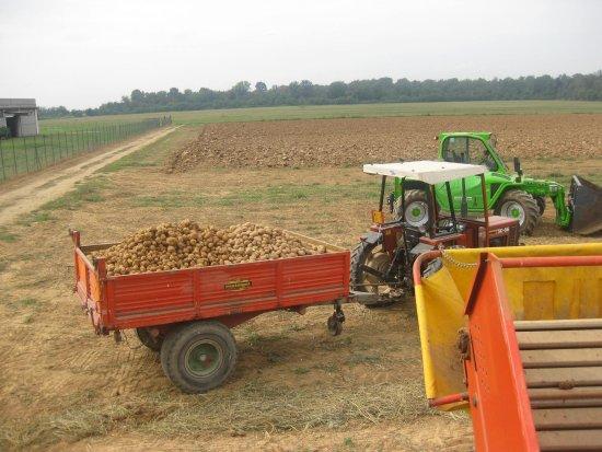 Origgio, Italia: La raccolta delle patate