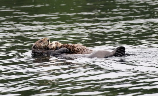 Zeballos, Canadá: Sea Otter and kit - how cute?