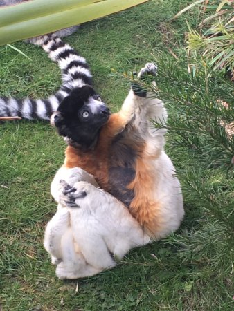 Burford, UK: Lemur