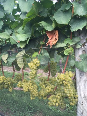 Peconic, NY: Grapes ready for harvest