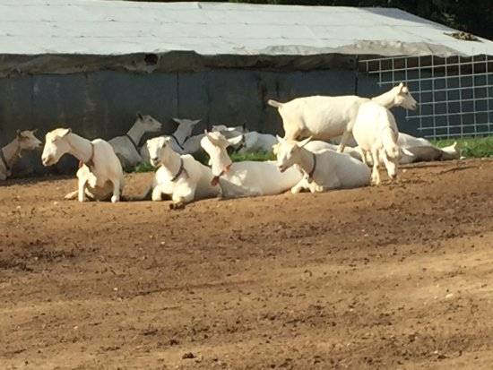 Peconic, NY: Goats relaxing at the goat farm