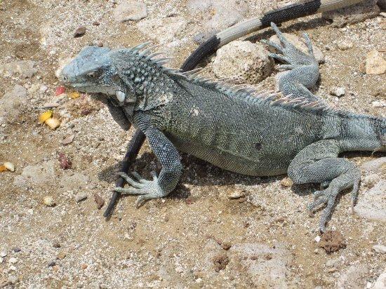 Kralendijk, Bonaire: One of the locals...