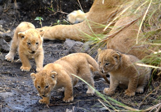Mara Bush C Lion Babies