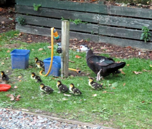 Roybridge, UK: New family of ducks