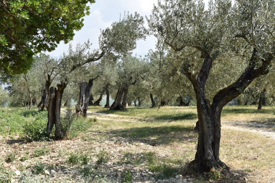 Montefalco, Włochy: Beautiful old olive groves