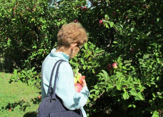 Hampton Falls, NH: Picking Apples