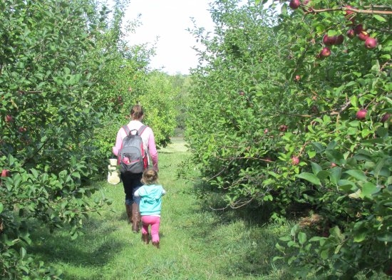 Hampton Falls, Nueva Hampshire: Picking Apples