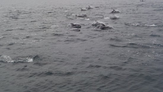 Telegraph Cove, Kanada: 300-400 pacific white sided dolphins !