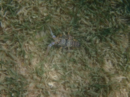 Vieux Fort, St. Lucia: small lobster on resort side of Jalousie beach