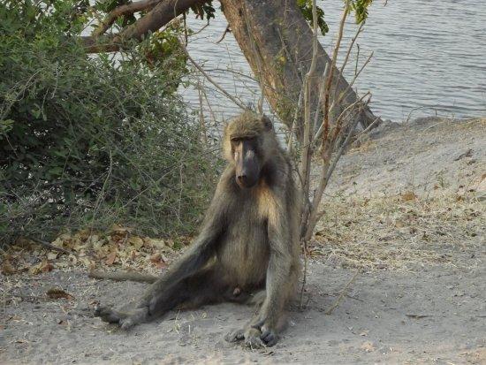 Kasane, Botsuana: Babbuino