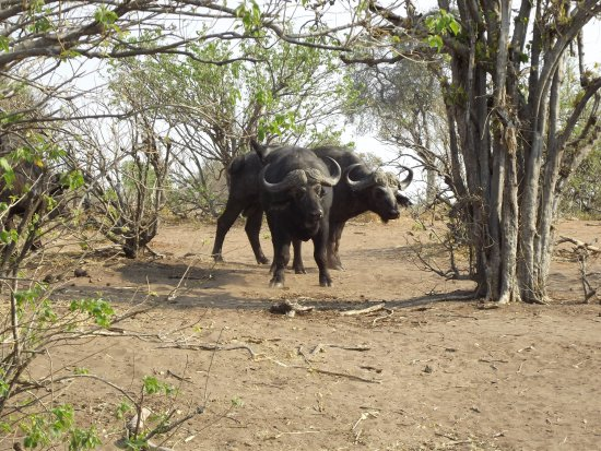 Kasane, Botsuana: Bufali