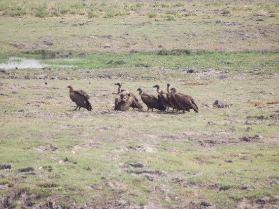 Kasane, Botsuana: Avvoltoi