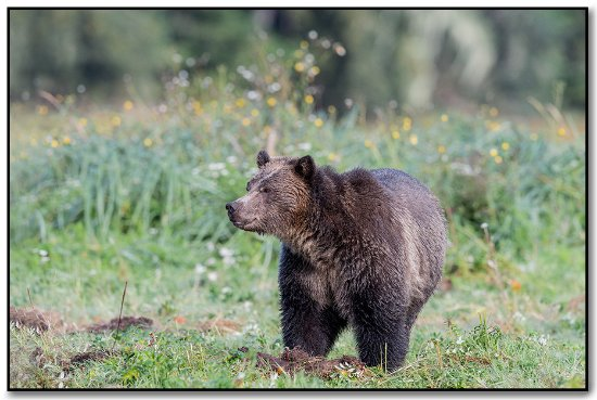 Telegraph Cove, Canadá: Grizzly watching the other grizzly's