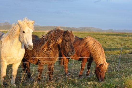 Guesthouse Vellir: horses