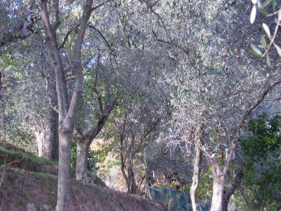 Montignoso, Italie : Una piccola parte di oliveto
