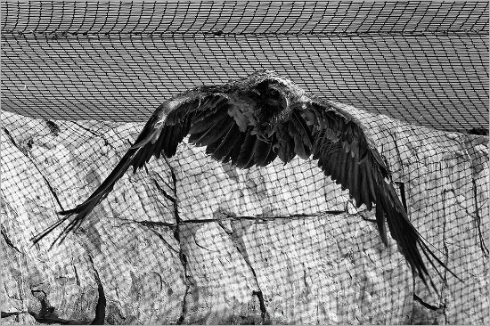 Pietermaritzburg, Güney Afrika: The Vultures are free to fly in their enclosures.