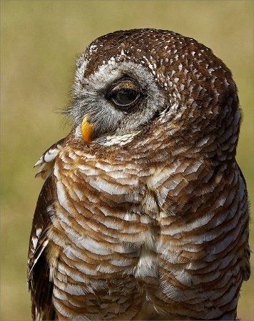 Pietermaritzburg, Güney Afrika: Such beautiful Owls to be seen. The African Wood Owl.