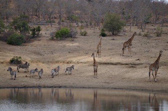 Nelspruit, Südafrika: Zebras and giraffes