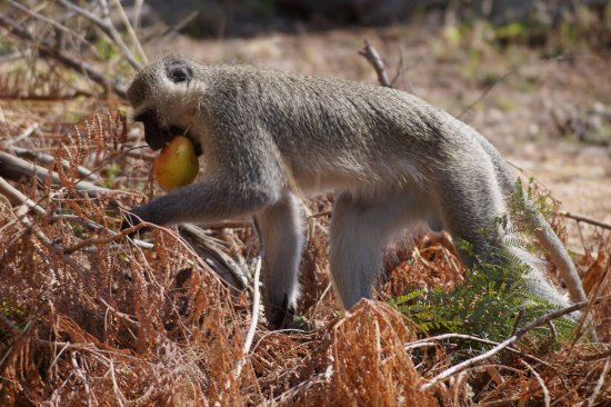 Nelspruit, Südafrika: The monkeys come to steal food whenever they get the chance