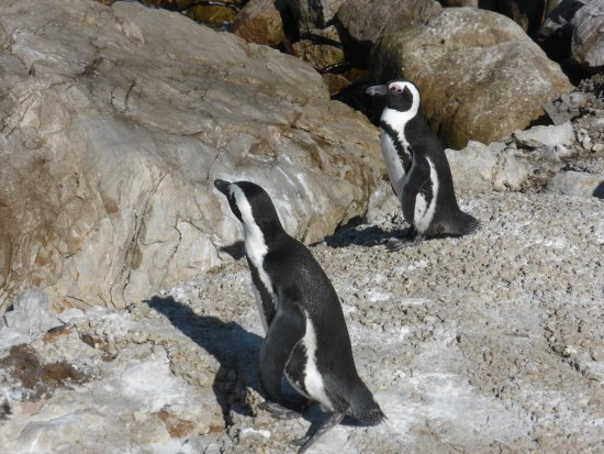 Betty's Bay, Sudáfrica: Pinguine Bettys Bay