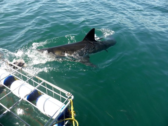 Gansbaai, Sør-Afrika: Great White Sharks Tour