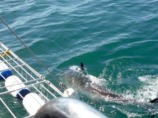 Гансбаай, Южная Африка: Great White Sharks Tour