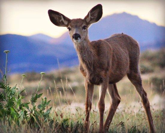 Sun Mountain Lodge: Sunrise with the deer!