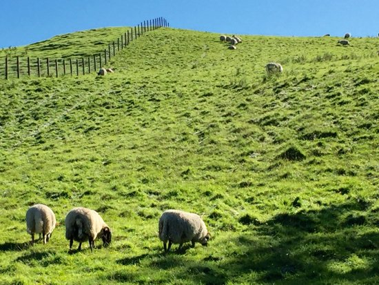 Dunblane, UK: Sheep, ever plentiful in Scotland. On the walk from the hotel to Stirling.