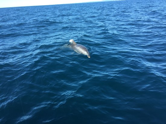 Gold Coast, Australia: Dolphin playing around the boat.