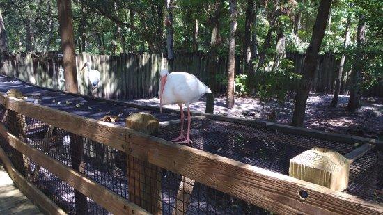 Homosassa Springs, FL: Pelican